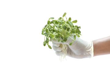 Green sprouts in hands