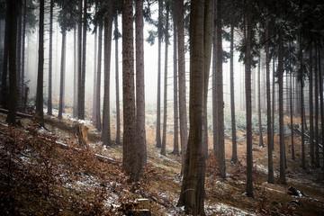 Zwischen den Bäumen im Nebelwald - Winter