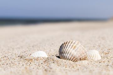 Seashell Baltic Sea