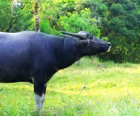Buffalo on the grass