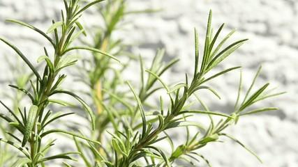 Rosmarin, Gewürz-und Heilpflanze