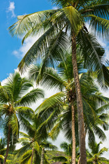 High palms on a tropical beach