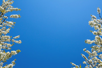 Blossoming cherry trees against blue sky frame.