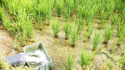 Plantas de arroz en el Delta del Ebro, Amposta, Tarragona