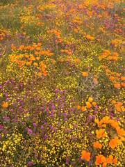 カリフォルニアポピーの花畑