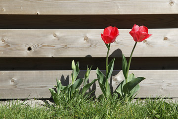 red tulips in grass near wooden fence