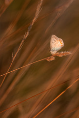 Common Blue (Polyommatus icarus) butterfly on a grass