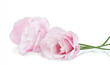 beautiful light pink eustoma flowers  on white background