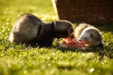 Ferrets enjoying melon
