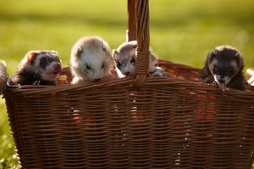 Ferret group in picnic basket