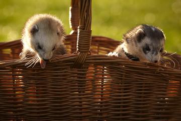 Ferrets in picnic basket