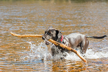 Black dog fetching stick from river