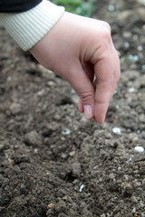 woman  sowing radish seed into the soil