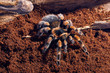 Mexican red knee tarantula - 82014083