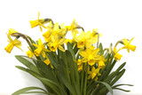 Narzisse; tete a tete; Narcissus; Osterglocke;