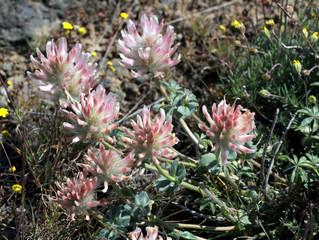 Big-head Clover - Trifolium macrocephalum