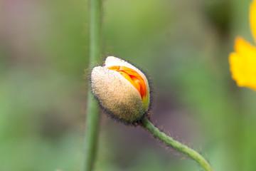咲きかけのポピーのつぼみ
