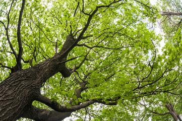 big old maple tree