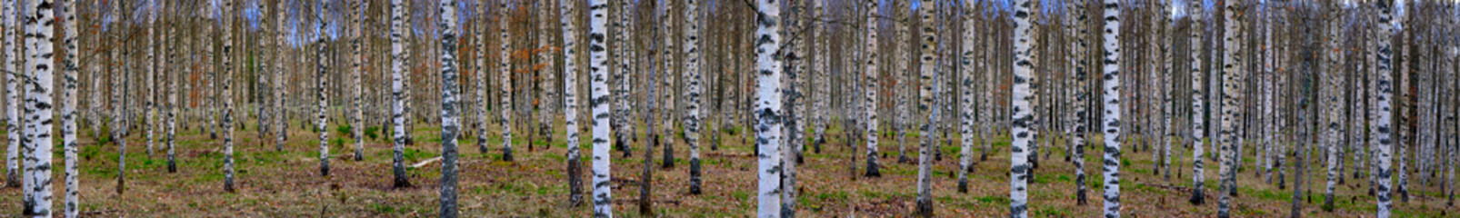 Panoramic view of birch forest