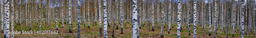 Keuken foto achterwand Bossen Panoramic view of birch forest