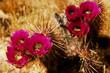 Flowering Hedge Hog cactus