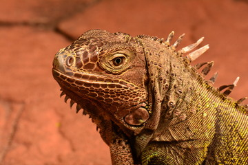 An iguana looks into the camera and smiles.
