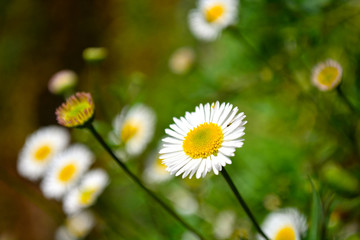 Close up white daisy flowers.