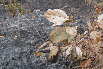 Dry leaves after fire