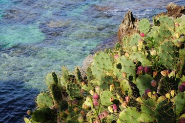 Prickly pear cactus growing on the sea bank.