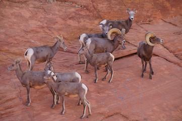 A herd of desert bighorn sheeps on the mountainside.