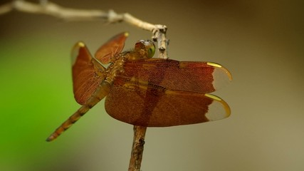 dragonfly is resting on the twig with gently wind