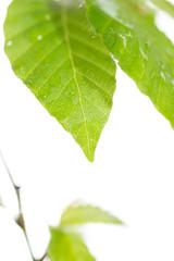 新緑のブナの葉