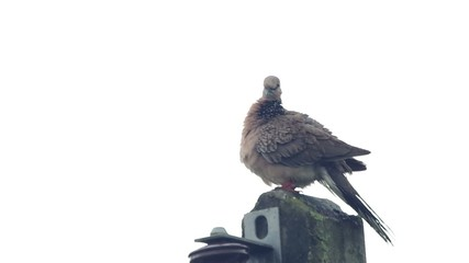 a spotted dove is cleaning its back and wings