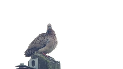 a spotted dove is cleaning its chest and wings