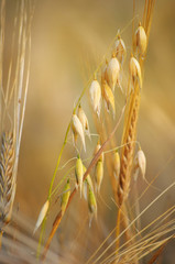 Spikelet of rye closeup