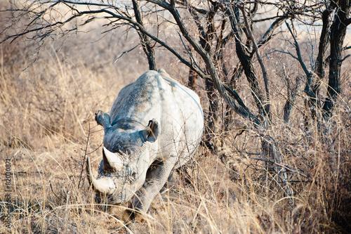 Deurstickers Neushoorn Rinoceronte nel deserto del Kalahari, Botswana, Africa
