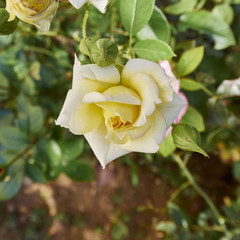 pale yellow rose in the garden