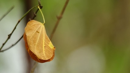 senescence leaf is shaking with gently wind