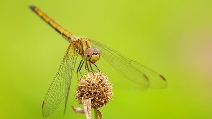 dragonfly is resting on the flower and staying quietly