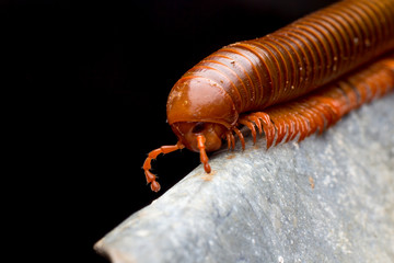 close up of the millipede