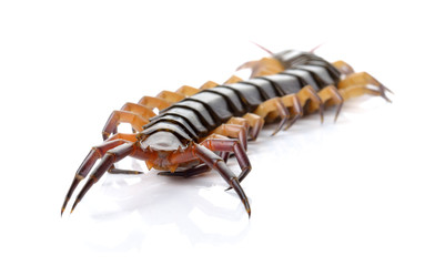 closeup of one brown centipede on white background