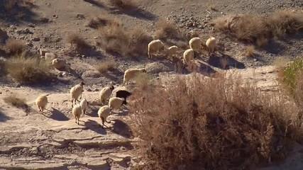 pecore al pascolo in un ambiente arido