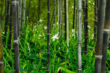 Fotoroleta Iris japonica in rare black bamboo forest in Kyoto, Japan