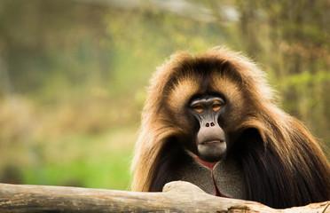 Gelada sitting at the trunk