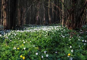 Весенние цветы на поляне в лесу