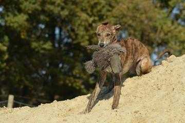 Windhund Welpe mit Plüschtier