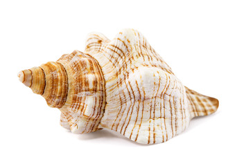 seashell isolated on a white