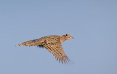 Pheasant hen flying
