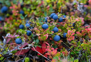 Blueberry on the tundra