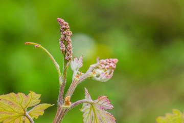 Germogli di foglie di vite